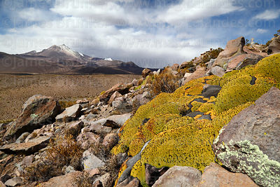 Yareta plants photographs