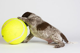 Pointer puppy pushing large tennis ball in studio