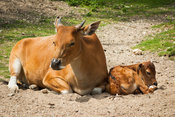 Relaxed in the sun - Mama Banteng and calf