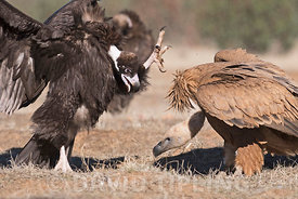 Griffon & Black Vultures fighting over food San Pedro Sierra Extremadura Spain December