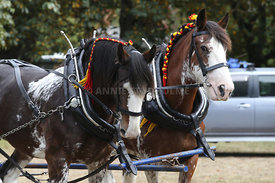 HOY_230314_clydesdales_3586