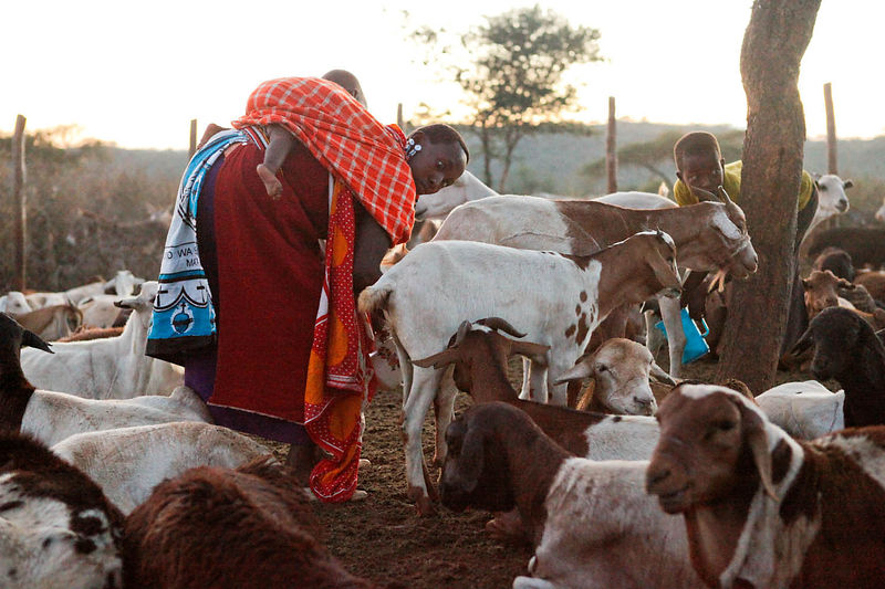 Early morning north of Nairobi 24 November, 2012. Masai woman milks goats in a rural 'boma' of Eremet.