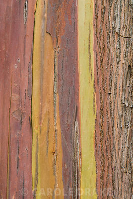 Colourful textured bark of Eucalyptus johnstonii. Sir Harold Hillier Gardens/Hampshire County Council, Romsey, Hants, UK