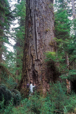 The photographer next to the Queets Fir, second largest Douglas-fir tree in the world at 16 feet in diameter, Olympic National Park, , Washington