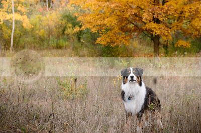 longhaired tricolor dog waiting standing in autumn field