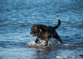 Black Lab Running through Water