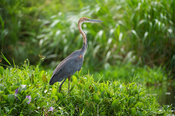 Goliath Heron (Ardea goliath), Murchison Falls National Park, Uganda