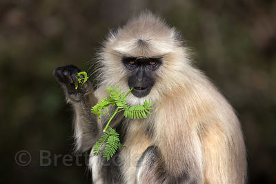 Langur monkey eating acacia foliage, Ajaypal, Rajasthan, India