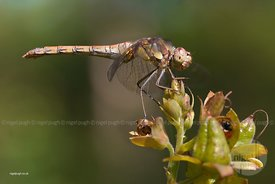 common darter: