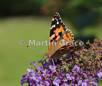 Painted Lady butterfly (Vanessa cardui) on a garden Buddleia (Buddleja) davidii, Cumbria, England