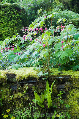 Dicentra spectabilis above a mossy wall colonised by ferns and Chrysosplenium alternifolium in the front garden. Windy Hall, Windermere, Cumbria, UK