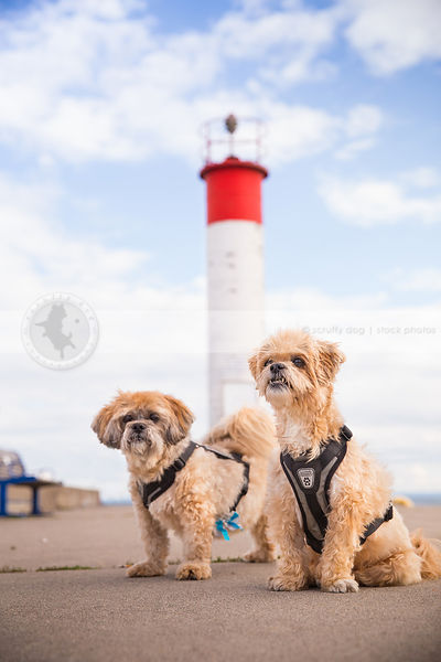 two small dogs wearing harness on pier with lighthouse under sky