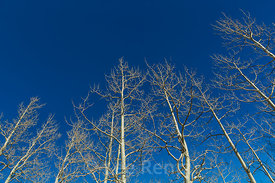 Bare Trembling Aspens in Great Basin National Park