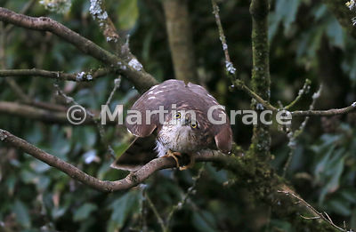 The juvenile male Eurasian Sparrowhawk (Accipiter nisus) crouches lower still just prior to launching himself at his target, Lake District National Park, Cumbria, England: Image 3 of 3