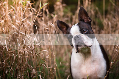 portrait of curious little dog with head tilt in dried grasses