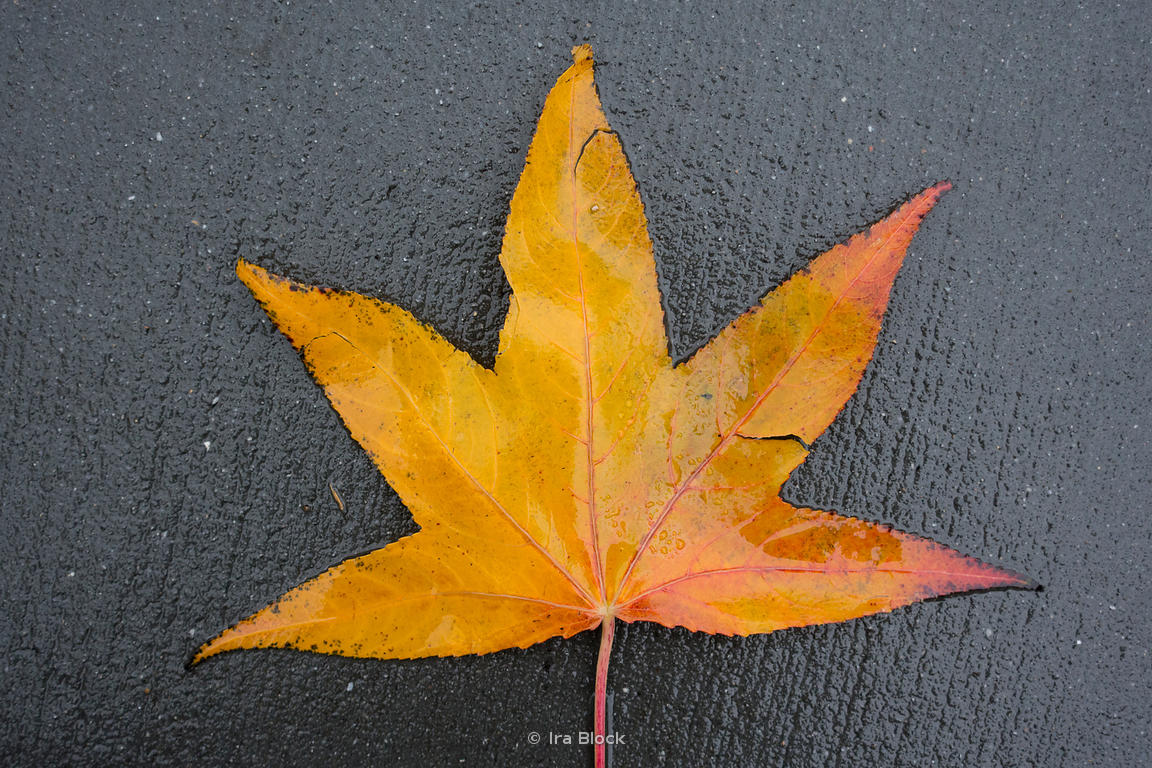 A fallen maple leaf on the sidewalk on a rainy day in Chelsea, New York.