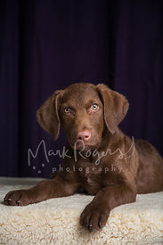 Close-up of Brown Chesapeake Bay Retriever puppy face
