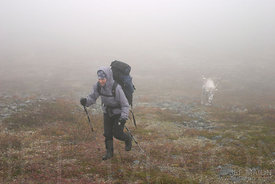 Hiker and reindeer on foggy tundra