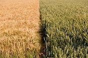Field showing divide betwen Barley (Left) and Wheat (right)