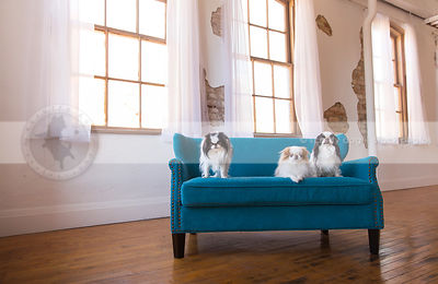 three small longhaired dogs on settee by windows indoors