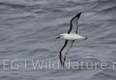 Atlantic yellow nosed albatross - South Atlantic
