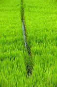 drainage in a rice crop growing in Italy.