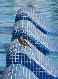 Sparrow at the pool