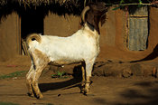 Male Boer goat, which have been indroduced from South Africa to produce bigger stronger quicker growing goats, Mbale, Uganda Africa