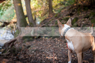 tan dog with collar looking back at mossy rocks in forest