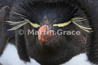 Falkland Penguins photos