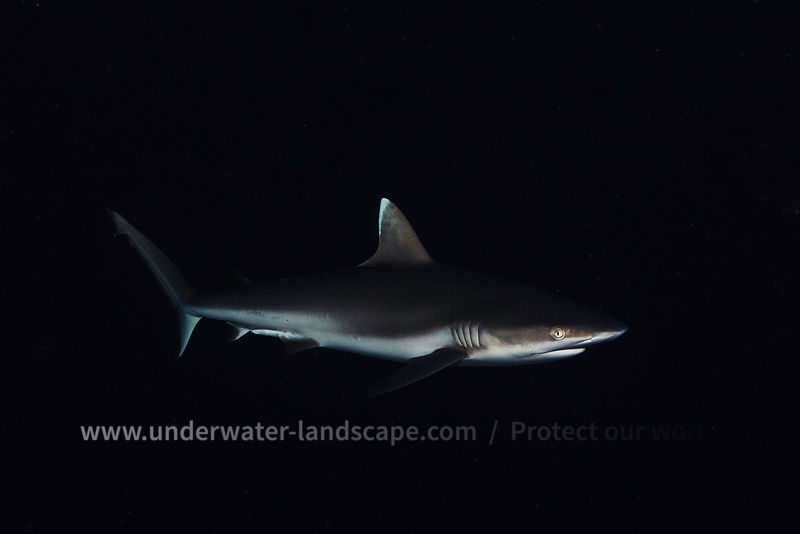 Grey reef shark - Underwater photography
