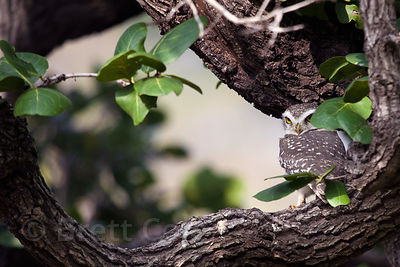 Unidentified owl, Ranthambore National Park, Rajasthan, India (2)