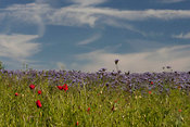 Wild poppies in field of phacelia tanacetifolia