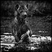 8987-Hyena_in_the_mud_Laurent_Baheux