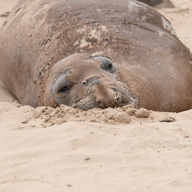 Elephant Seal wildlife photos