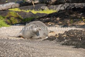 hawaiian_monk_seal_big_island_02062015-43