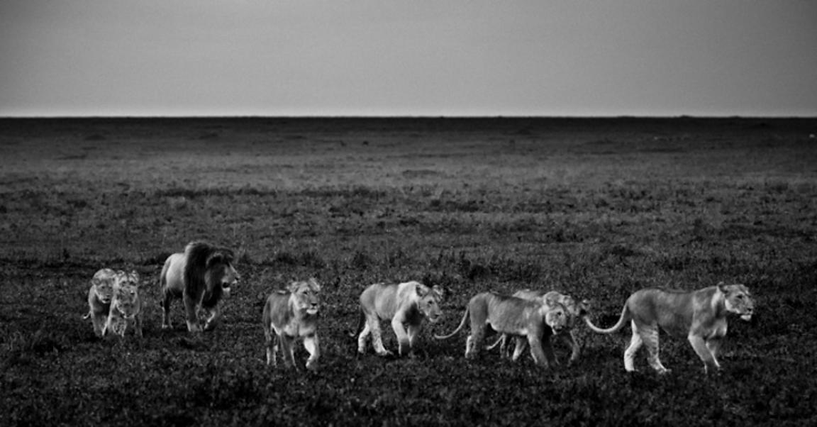 5841-Lion_family_in_the_bush_Kenya_2013_Laurent_Baheux