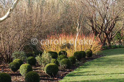 Cornus sanguinea 'Midwinter Fire' with clipped box balls and white stemmed birch. Sir Harold Hillier Gardens, Ampfield, Romsey, Hants, UK