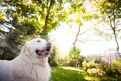 great pyrenees photos