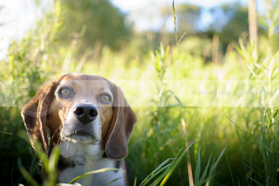 headshot of tricolor beagle dog staring from summer grasses