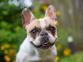 Close-up Portrait of Smiling French Bulldog in Garden