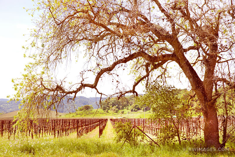 OAK AND VINEYARD NAPA VALLEY