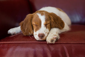 Brittany spaniel puppy sleeping