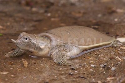 Smooth Softshell Turtle (Apalone mutica)   photos