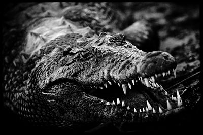 Sourire de crocodile, Botswana 2010 © Laurent Baheux
