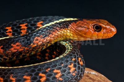 Red spotted garter snake  (Thamnophis sirtalis concinnus) photos