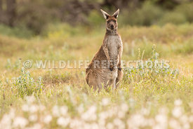 kangaroo_western_grey_white_flowers-9