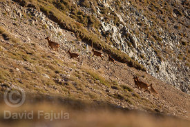 Flock of chamois (Rupicapra rupicapra) running in the slopes of Pic de la Dona (2702 masl)