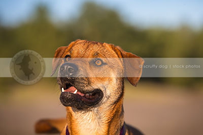 headshot of alert cross breed dog with minimal background