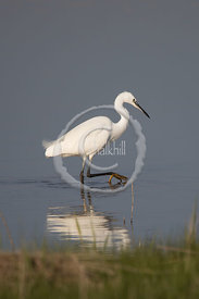 File-20170407-165907-GBR-Needs_Ore-Little_Egret_-_Egretta_garzetta-011